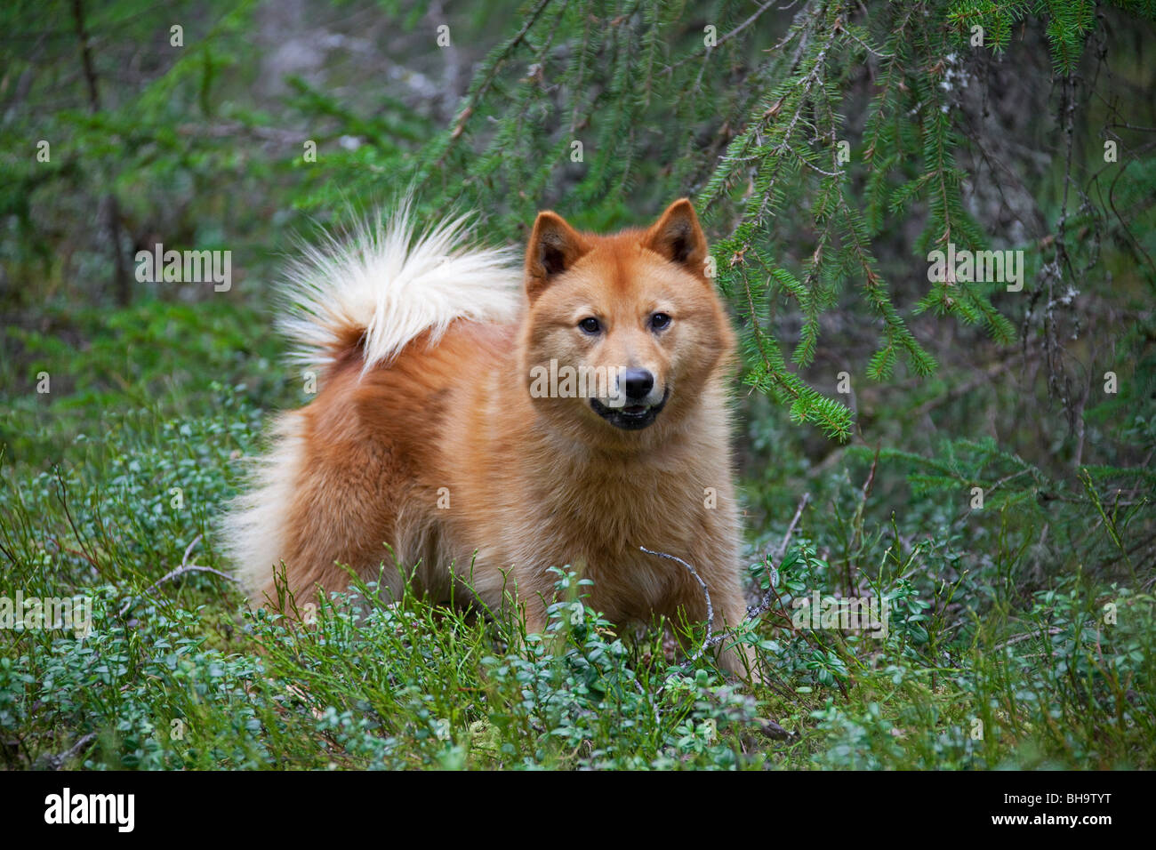 Nordic Spitz (Canis lupus familiaris), used in bird hunting, native of Sweden - Stock Image