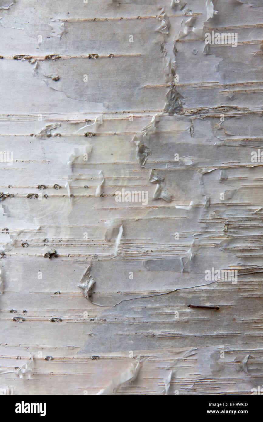 Silver birch (Betula pendula / Betula verucosa) close-up of bark, Sweden - Stock Image