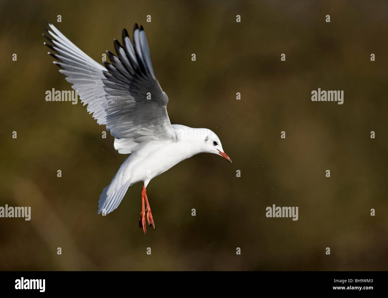Black-headed Gull with winter plumage - Stock Image