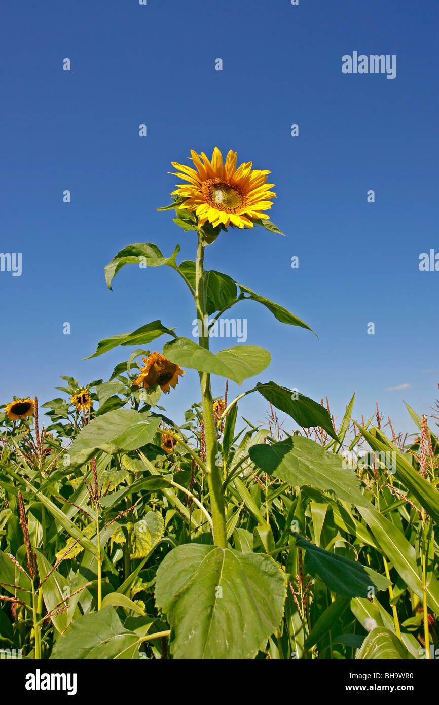 Sunflower - Helianthus annuus - Stock Image