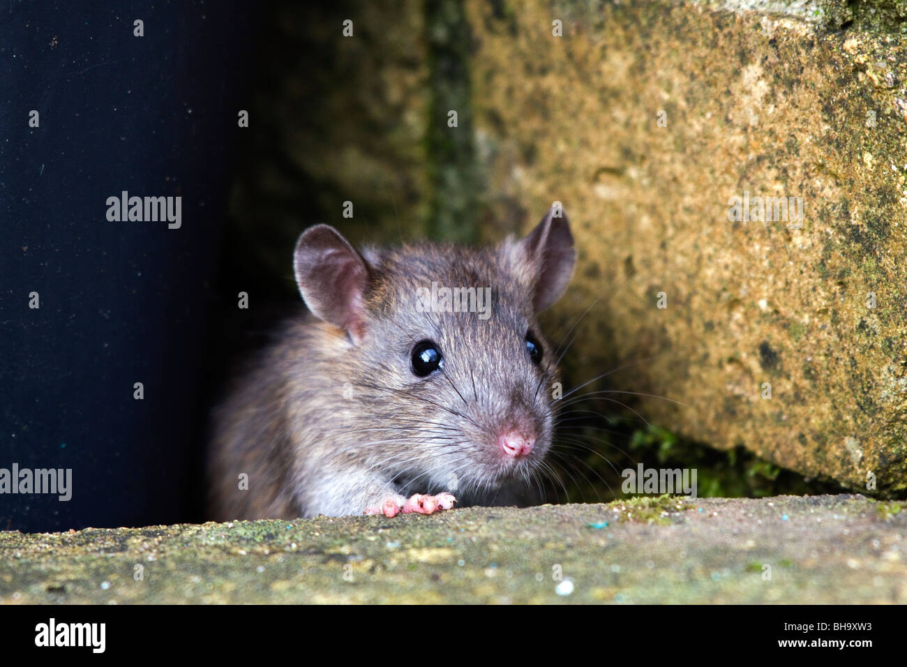 Brown Rat; Rattus norvegicus; in garden - Stock Image