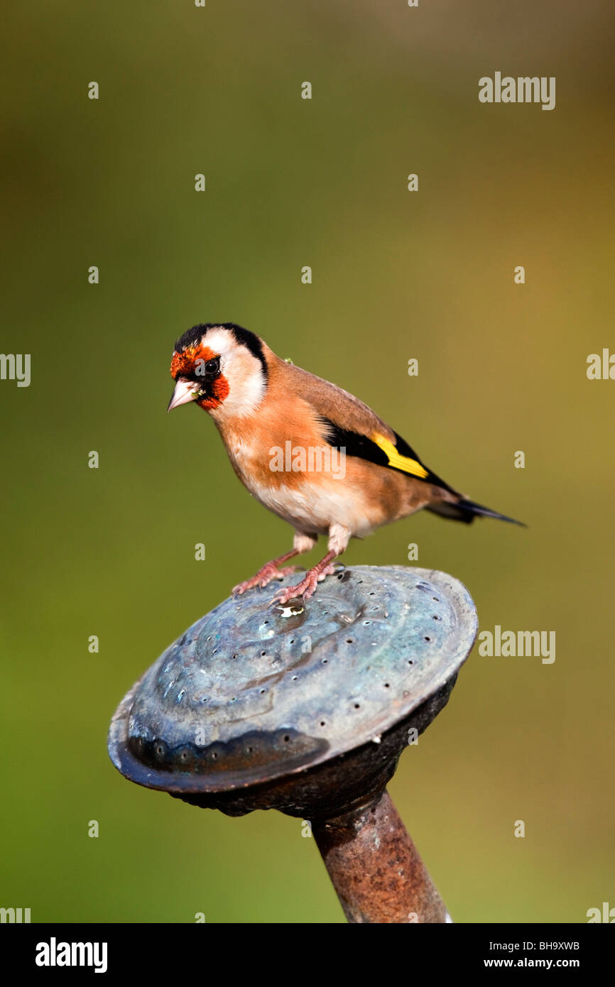 Goldfinch; Carduelis carduelis; on garden watering can spout - Stock Image