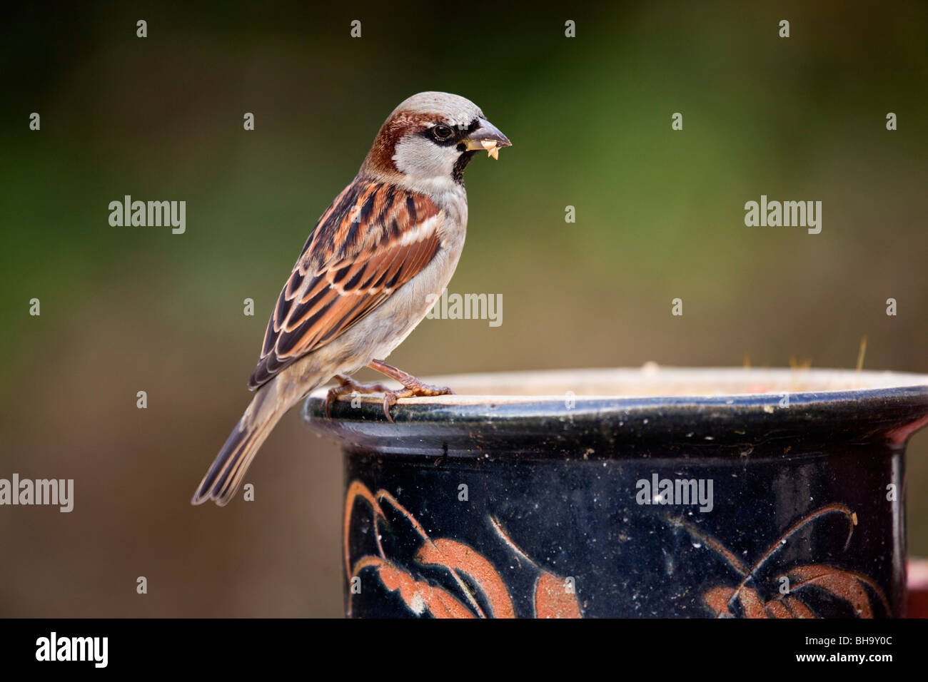 House Sparrow; Passer domesticus; male; on plant pot - Stock Image