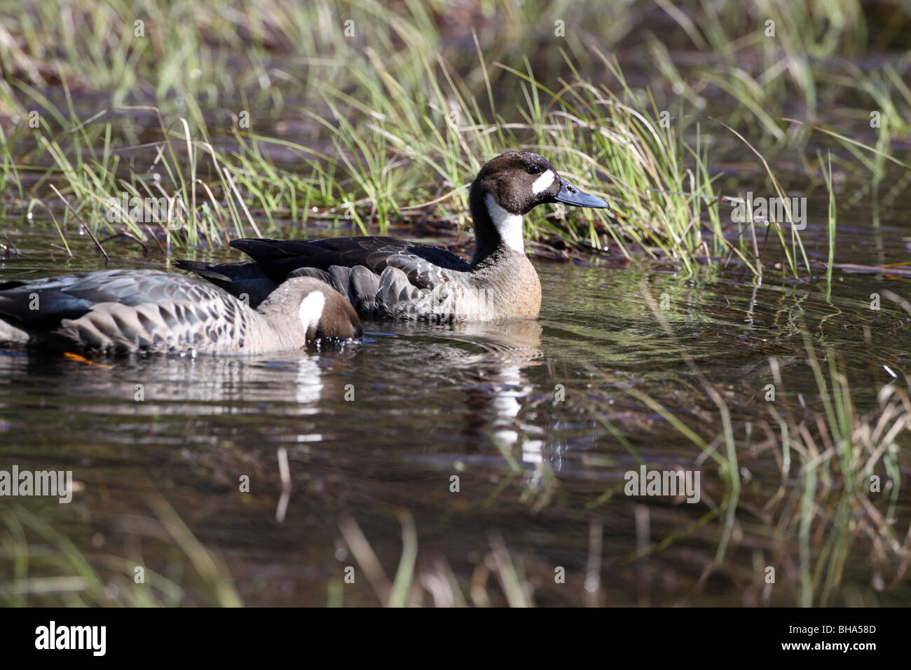 Spectacled Duck, Anas specularis pair near El Calafate - Stock Image