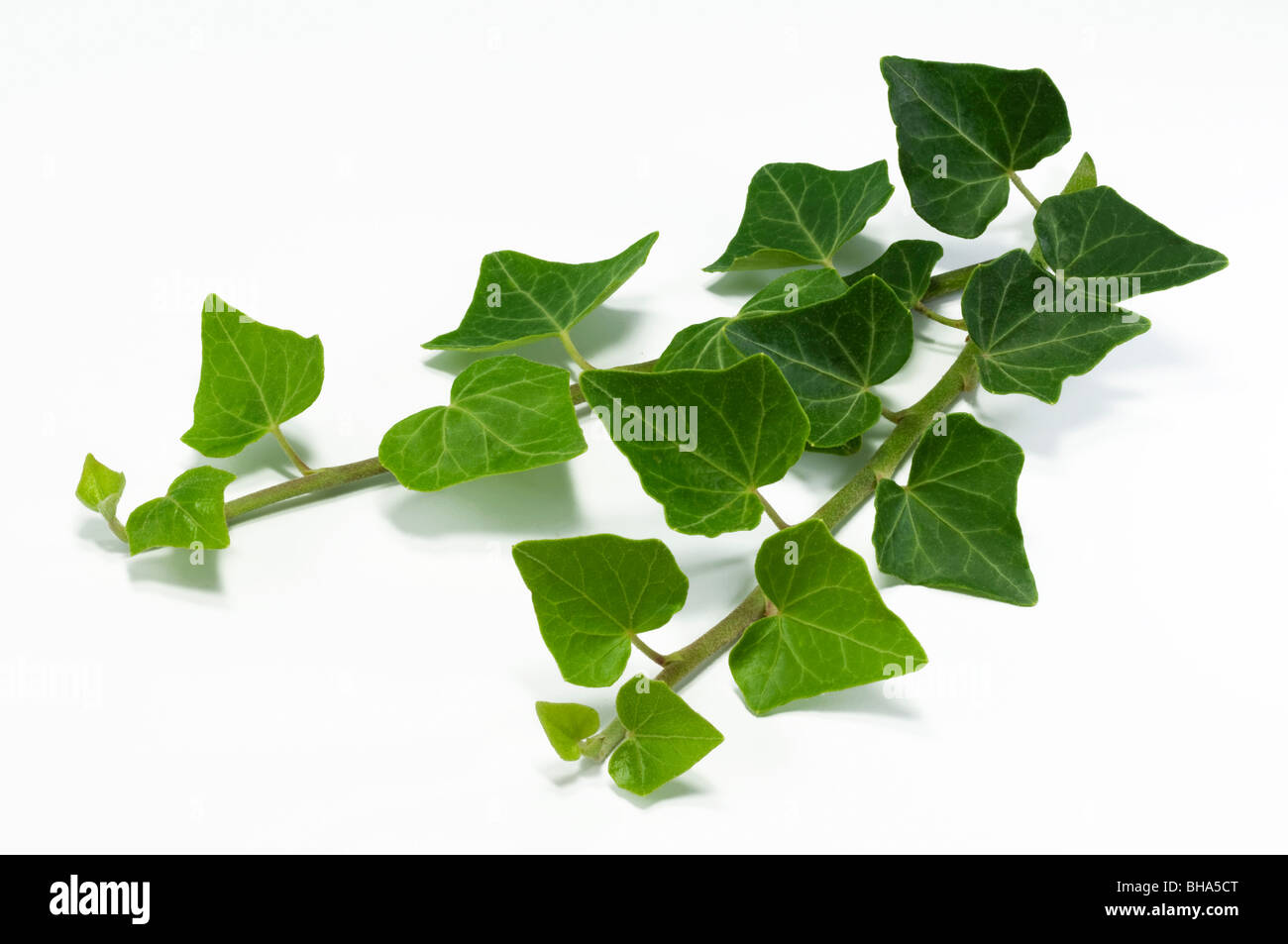 Common Ivy, English Ivy (Hedera helix), tendrils, studio picture. - Stock Image