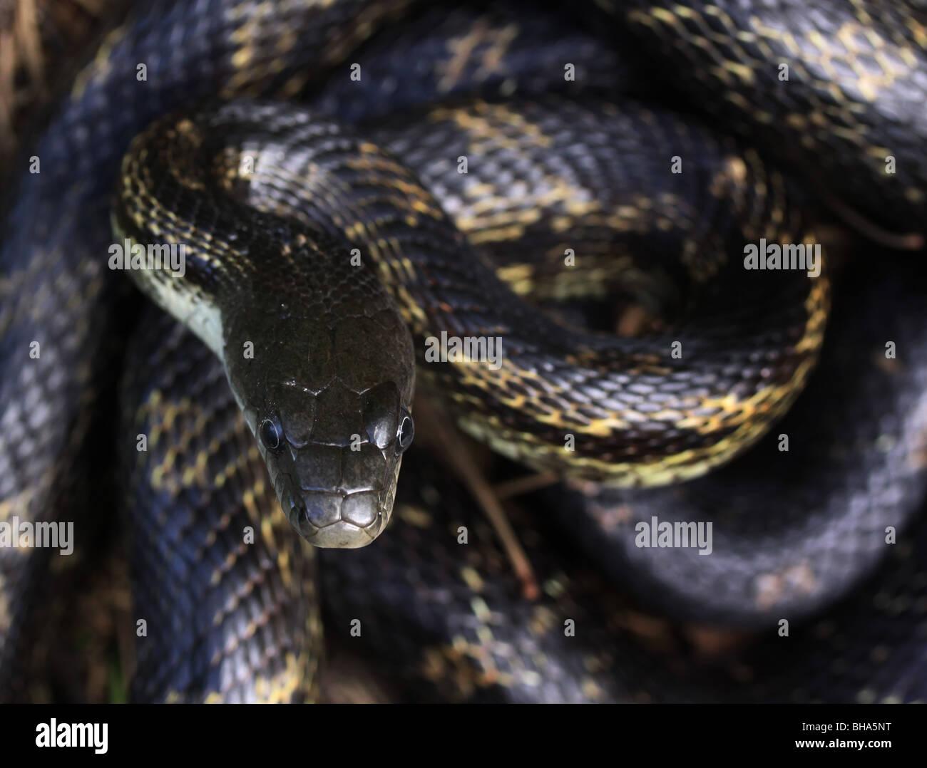 tongue black rat snake smell - Stock Image