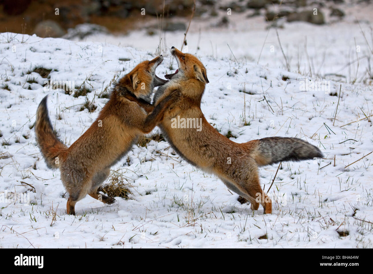 Two Red foxes (Vulpes vulpes) fighting in the snow in winter - Stock Image