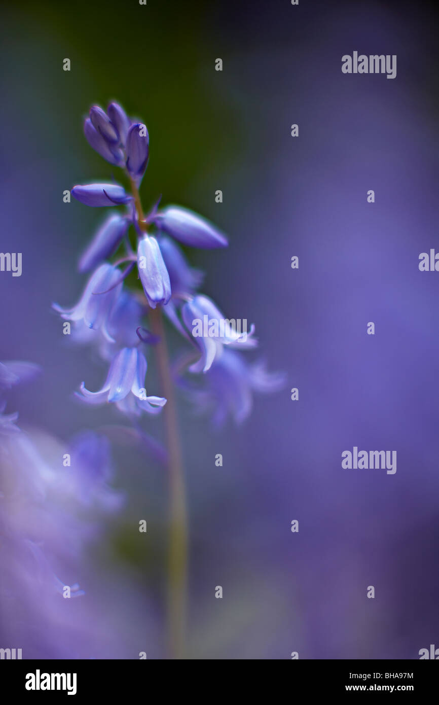 detail of a bluebell in Batcombe Wood, Dorset, England, UK - Stock Image