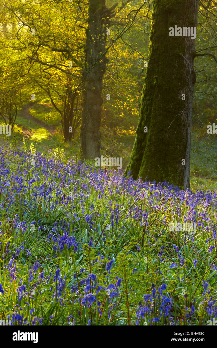 first light in the bluebell woods at Batcombe, Dorset, England, UK - Stock Image