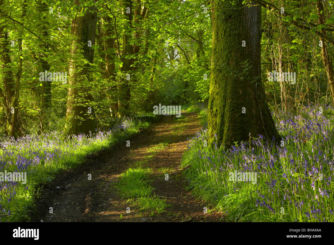 a track through the bluebells in the woods at Batcombe at dawn, Dorset, England, UK - Stock Image