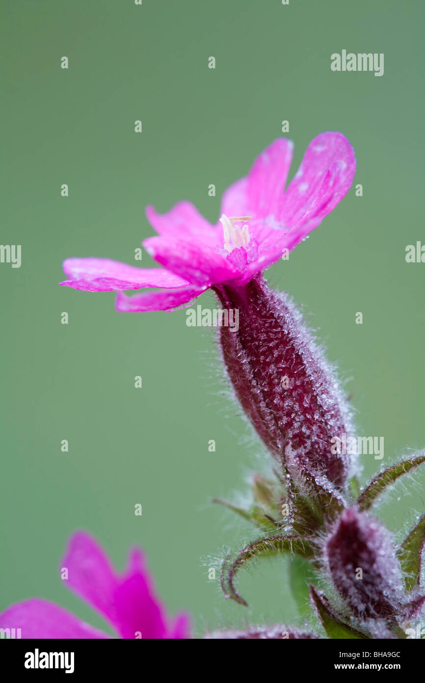 Red Campion; Silene dioica; in frost Stock Photo