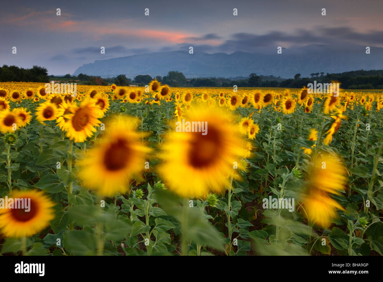 a field of sunflowers nr Puyloubier & Montagne Ste Victoire at dawn, Bouches-du-Rhone, Provence, France - Stock Image