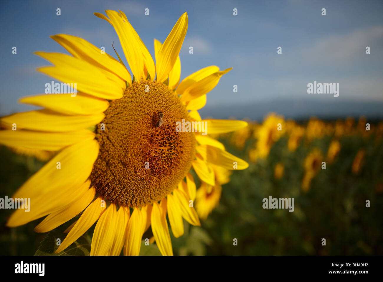 a field of sunflowers nr Puyloubier, Bouches-du-Rhone, Provence, France - Stock Image