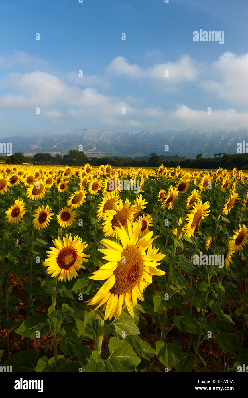 a field of sunflowers nr Puyloubier, with Montagne Ste Victoire beyond, Bouches du Rhone, Provence, France - Stock Image
