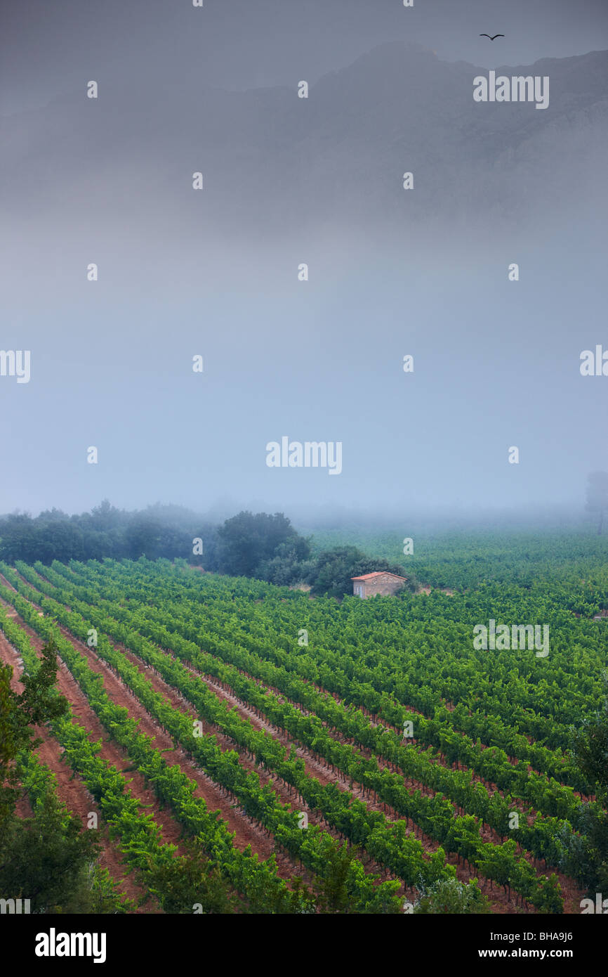 a vineyard nr Puyloubier, beneath the slopes of Montagne Ste Victoire, Provence, France - Stock Image