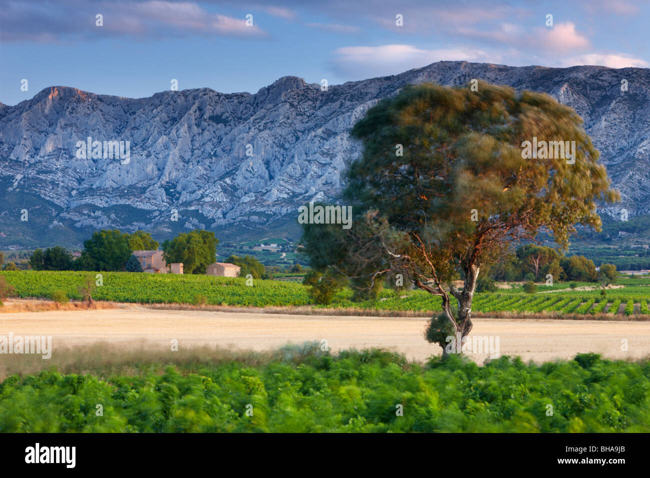 a tree blowing in the breeze at dawn with Montagne Sainte-Victoire beyond, nr Puyloubier, Bouches-du-Rhone, Provence, - Stock Image