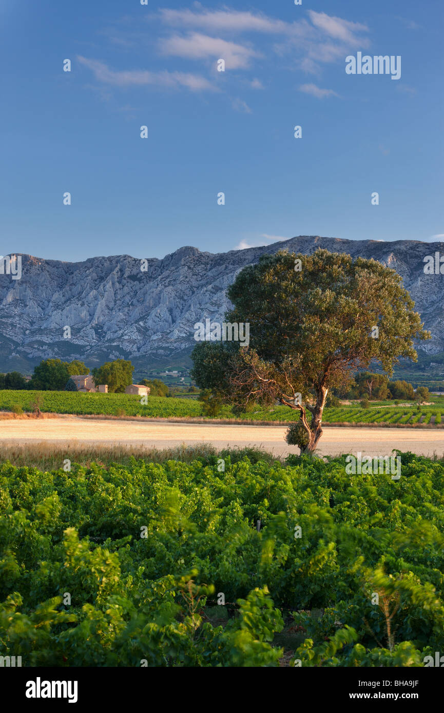 a vineyard nr Puyloubier with the Montagne Ste Victoire beyond, Provence, France - Stock Image