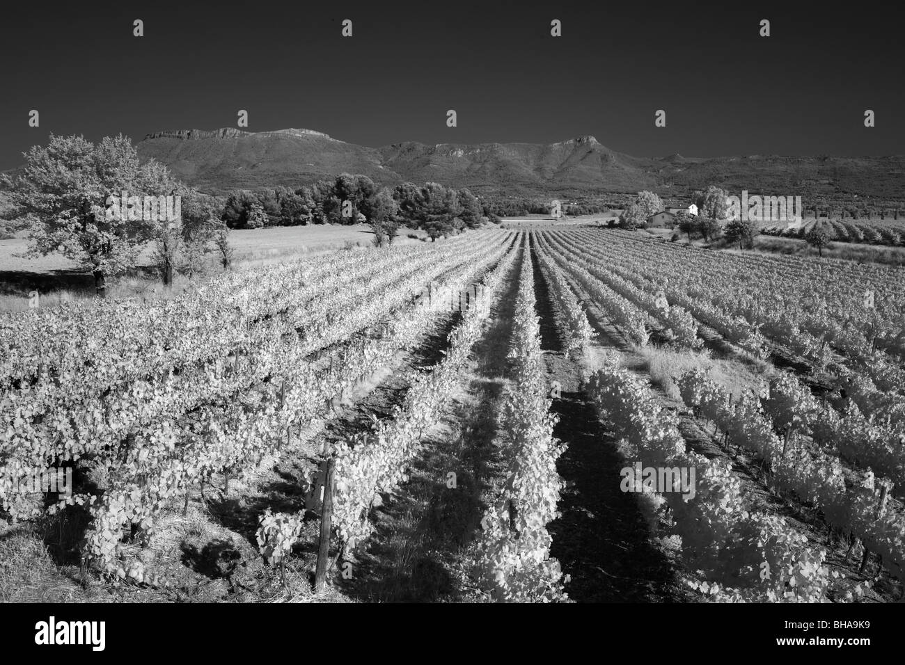 a vineyard nr Puyloubier, Bouches-du-Rhone, Provence, France - Stock Image