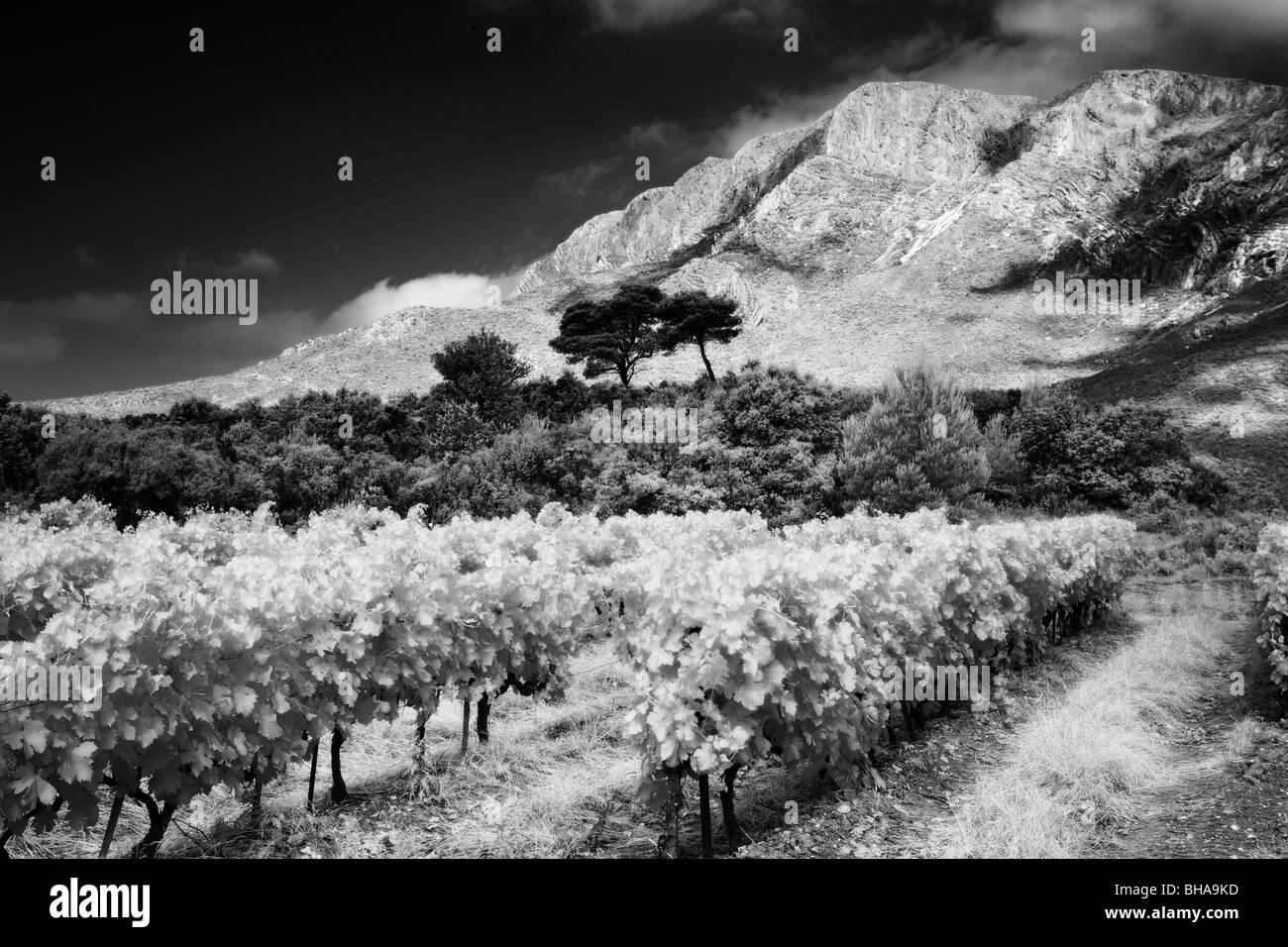 a vineyard nr Puyloubier & Montagne Ste Victoire, Bouches-du-Rhone, Provence, France - Stock Image
