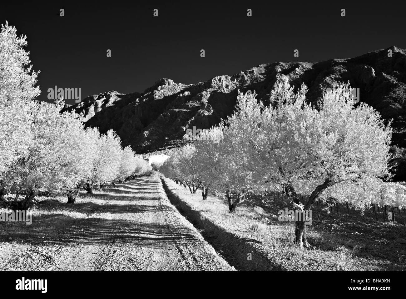 olive trees lining a lane to a domaine beneath Montagne Sainte-Victoire, nr Puyloubier, Bouches-du-Rhone, Provence, - Stock Image