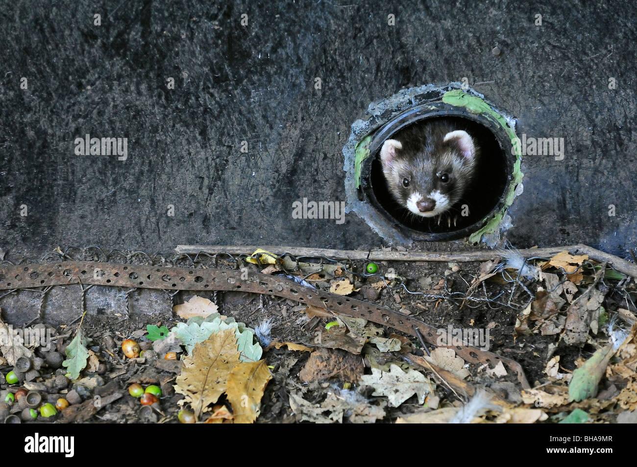 European polecat (Mustela putorius) emerging from drainpipe, UK - Stock Image