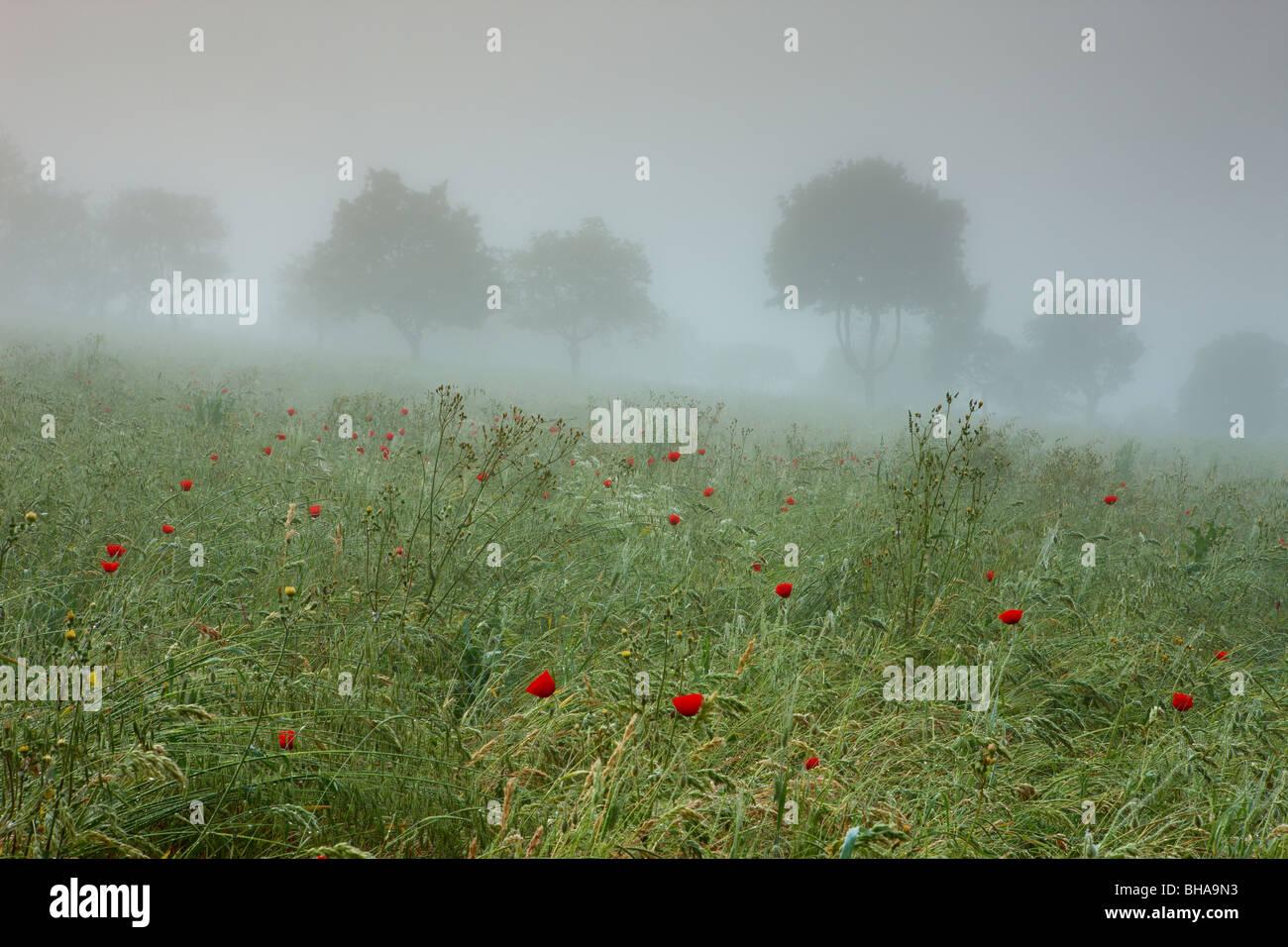 poppies in the mist nr Preci, Valnerina, Umbria, Italy - Stock Image