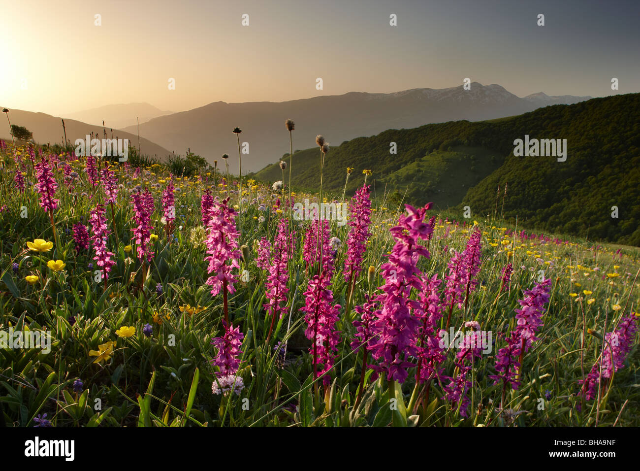 wild flowers on the Forca Canapine at sunrise in Monti Sibillini National Park, Umbria, Italy - Stock Image