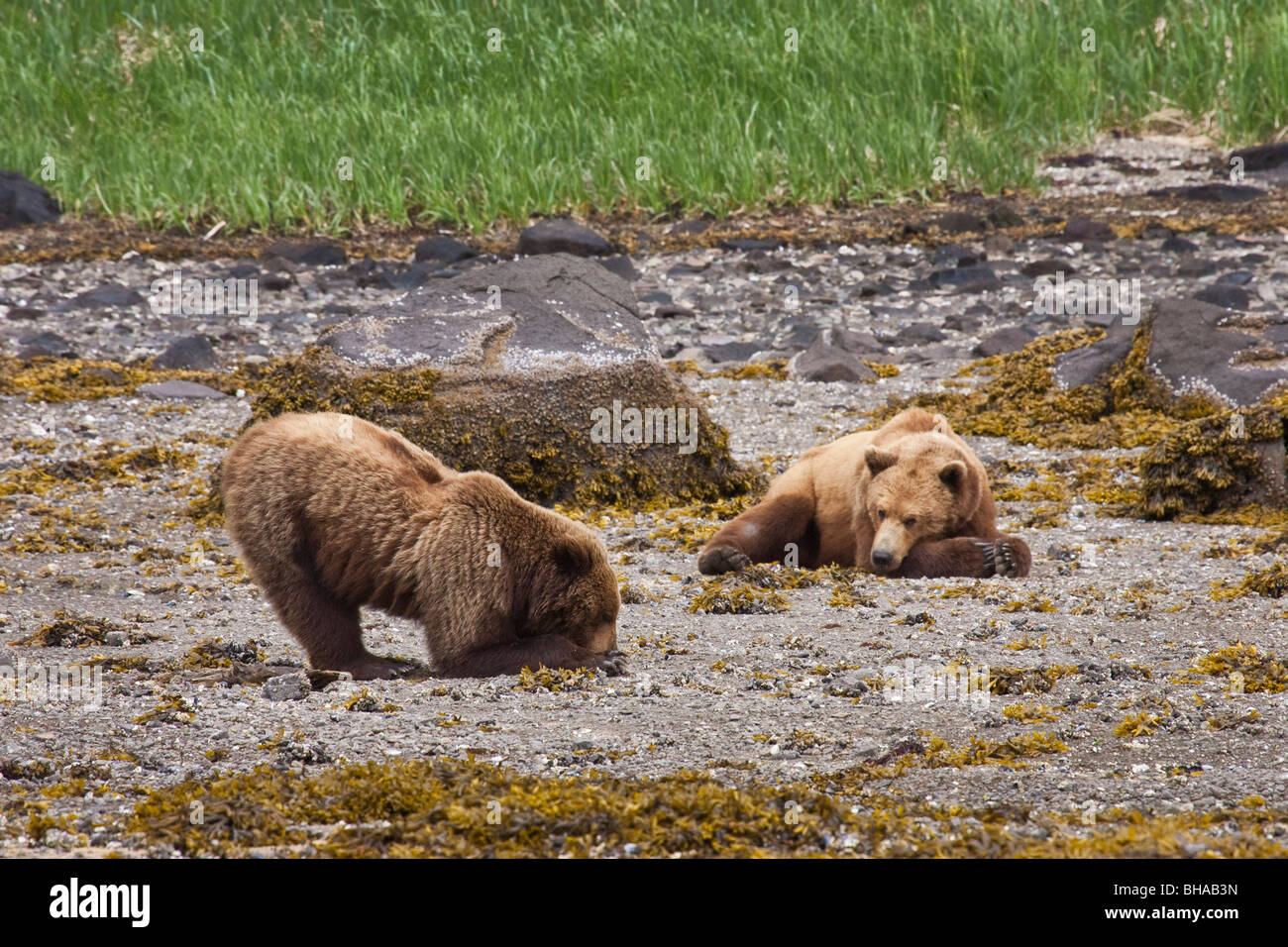 Brown bear digs for clams  while a second bear rests on the beach, Geographic Harbor, Katmai National Park, Southwest - Stock Image