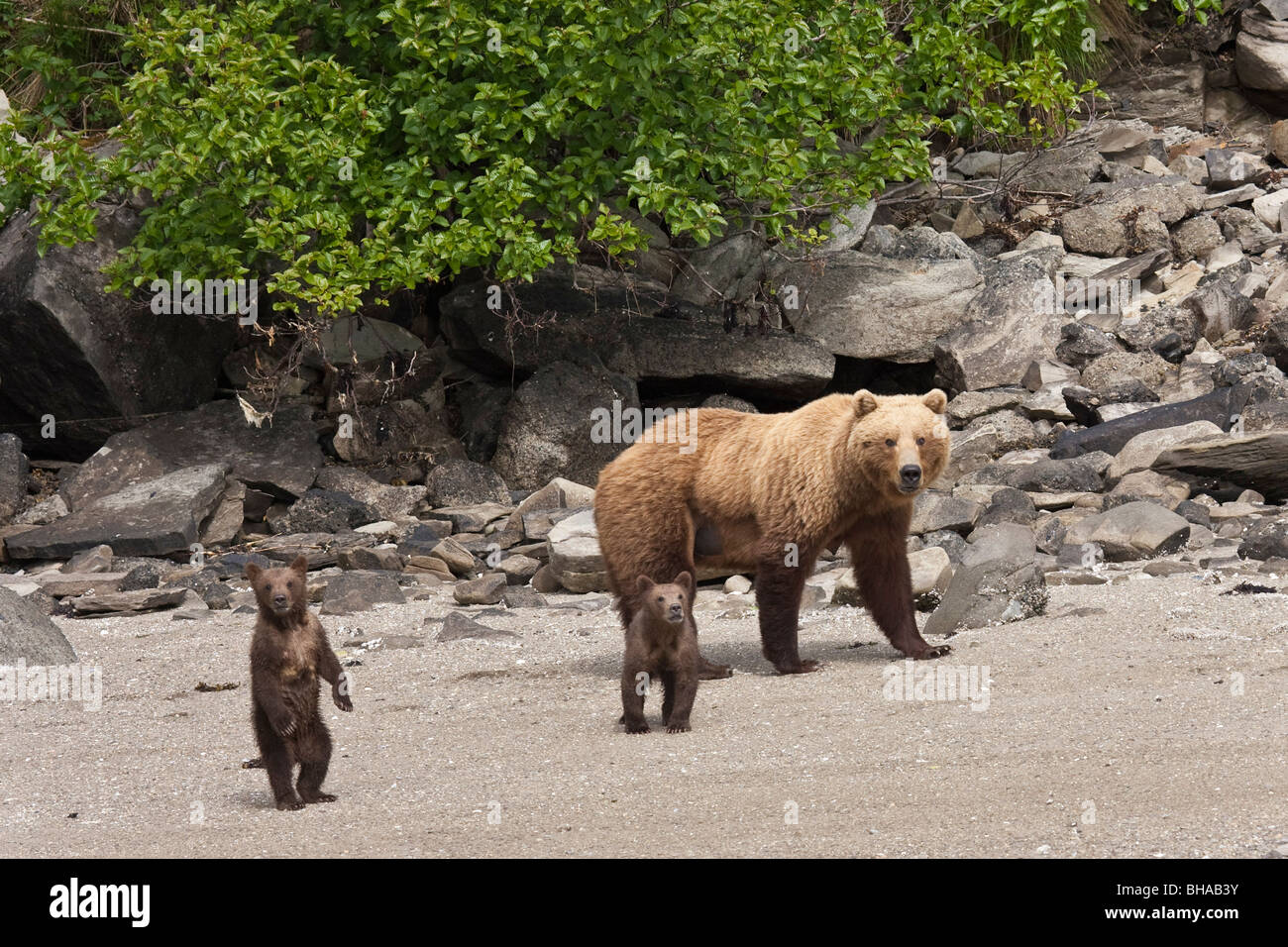 A spring cub stands up while walking on a beach with mother and sibling in Geographic Harbor, Katmai National Park, - Stock Image
