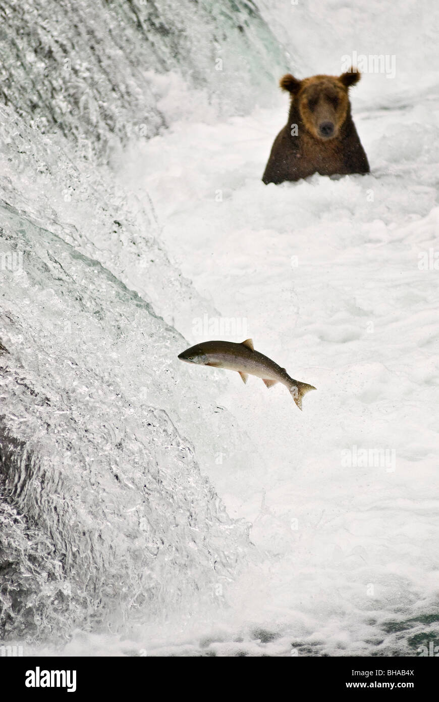 A brown bear looks on as a sockeye tries to jump over Brooks Falls, Katmai National Park, Alaska/n - Stock Image
