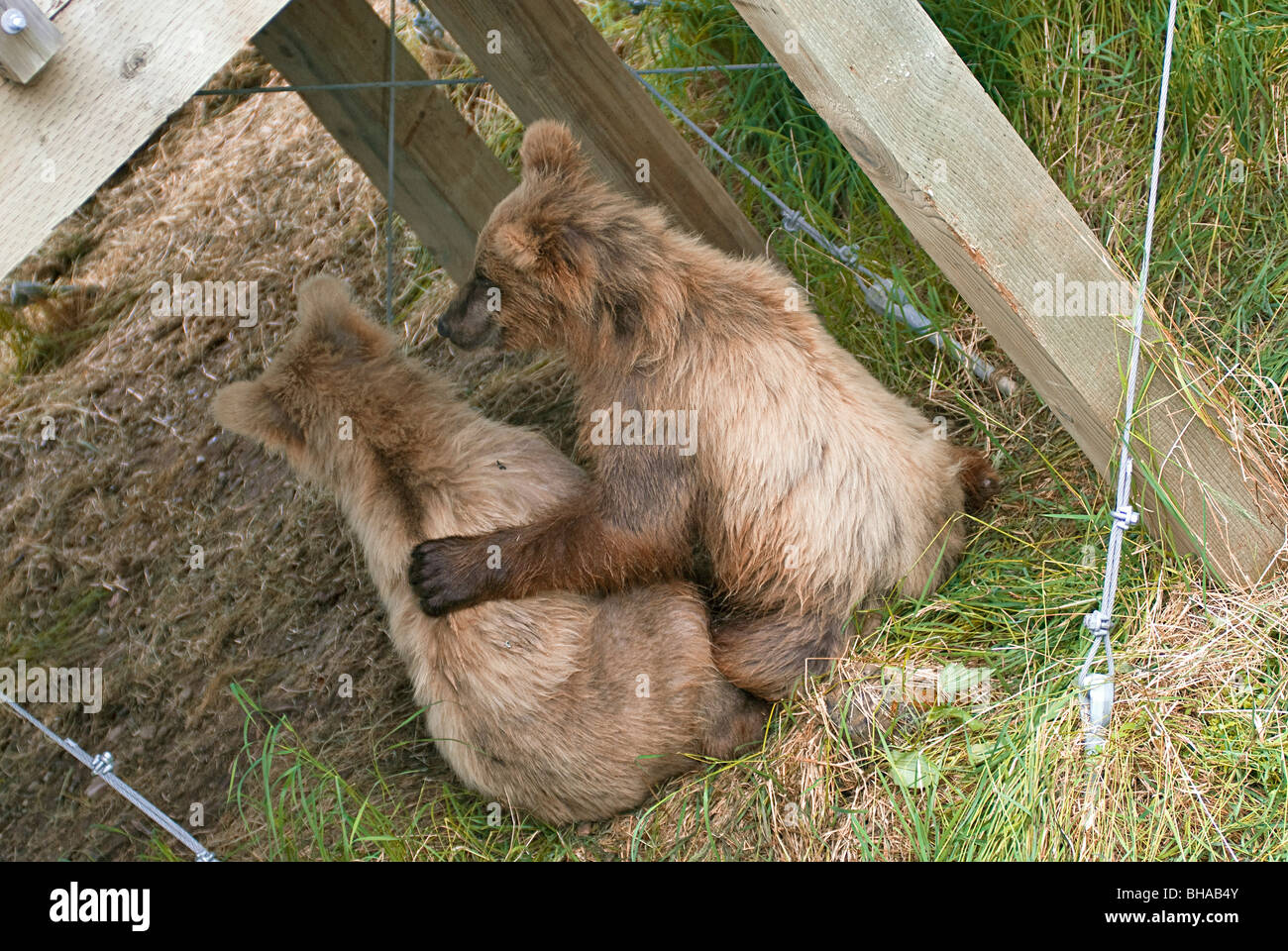 A yearling brown bear puts its arm around its sibling's shoulder, Brooks Falls, Katmai National Park, Southwest - Stock Image