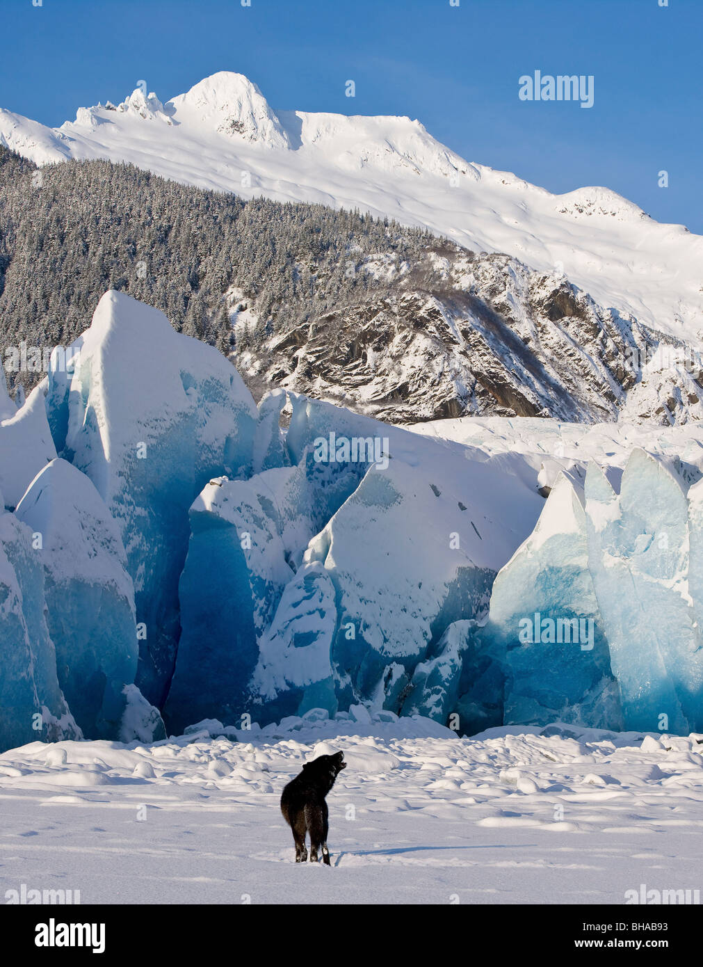 Howling on a winter afternoon a black wolf calls pack at the face of Mendenhall Glacier, Tongass Forest, Alaska. - Stock Image