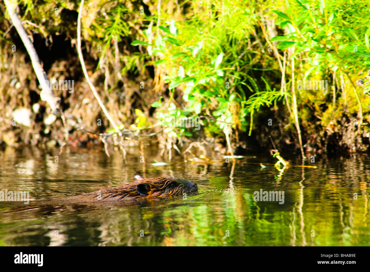 A beaver swims in Jack Creek near Nabesna Road, Wragell Saint Elias National Park, Southcentral Alaska, Summer - Stock Image
