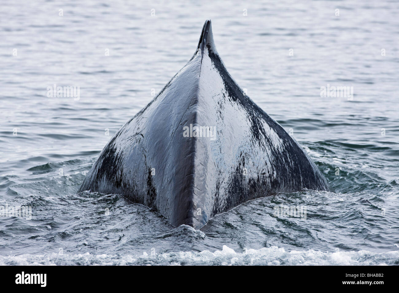 The humped back and fin of a Humpback whale as it dives to feed in Seymour Canal in the Inside Passage of Southeast - Stock Image