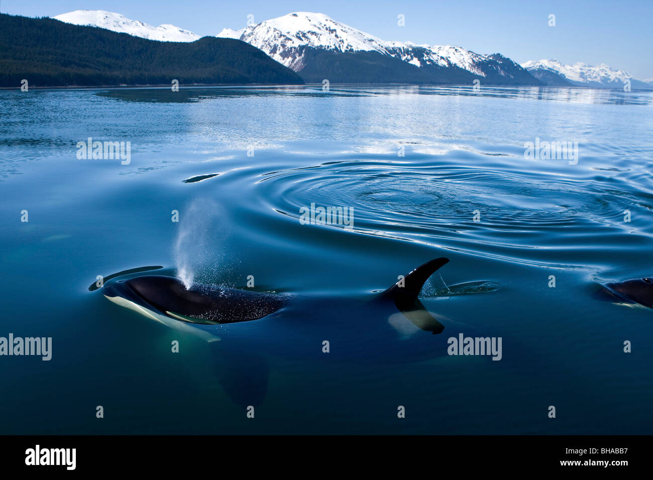 Orca Whales surface in Lynn Canal with the Chilkat Mountains in the distance, Inside Passage, Alaska - Stock Image