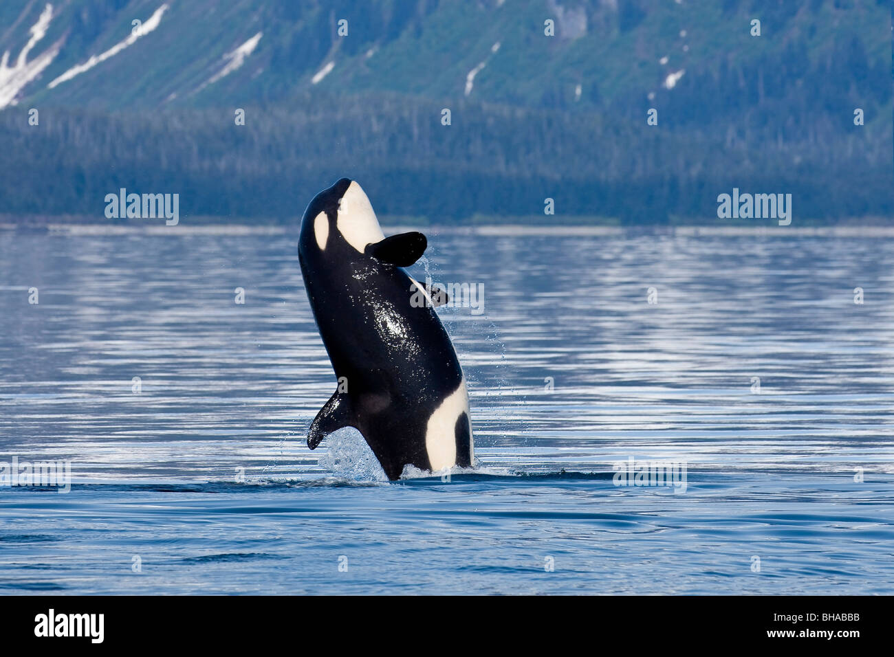 A young Killer Whale leaps from the calm waters of Lynn Canal in Alaska's Inside Passage. - Stock Image