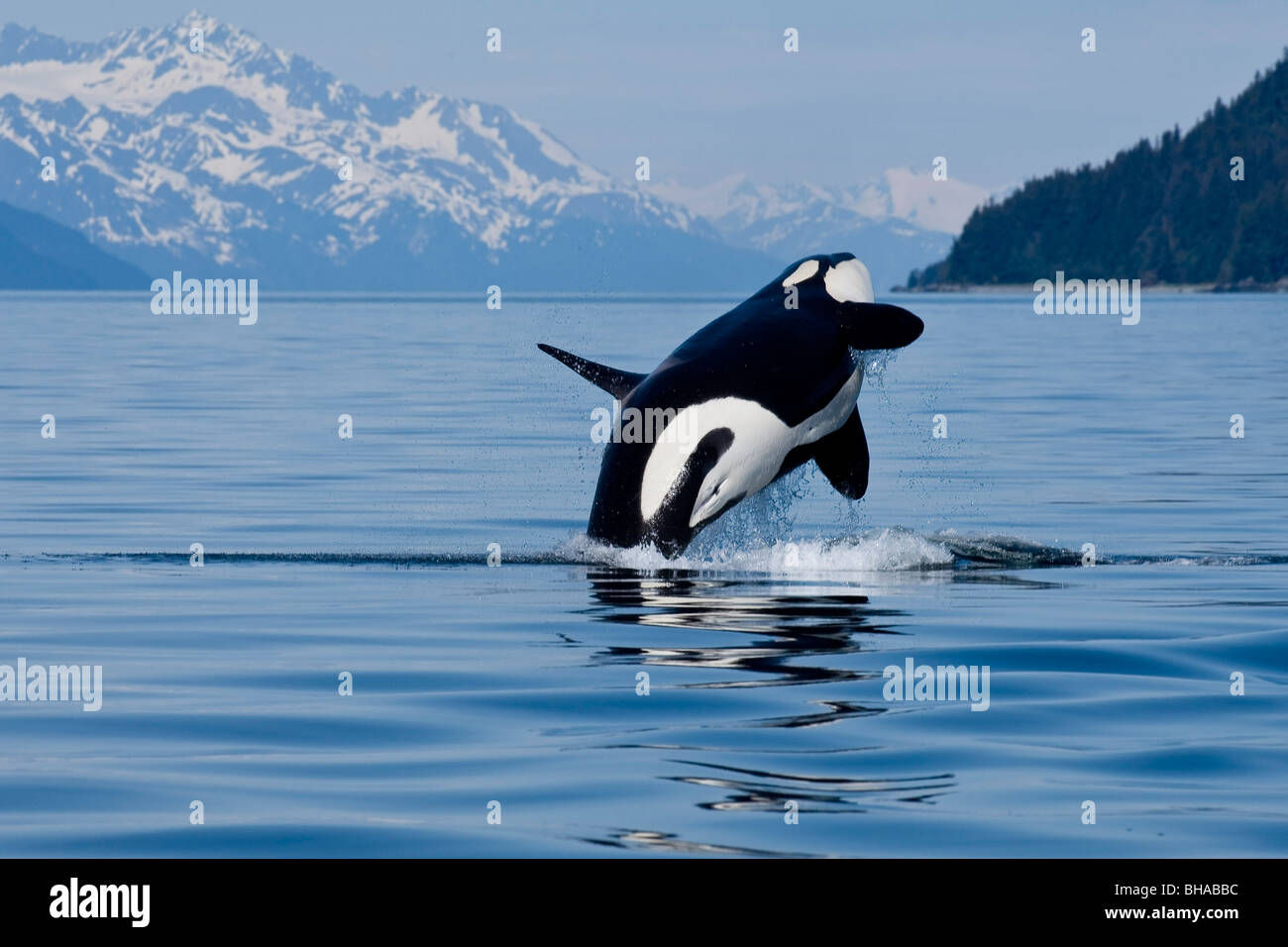 An adult Killer Whale leaps from the calm waters of Lynn Canal in Alaska's Inside Passage. - Stock Image