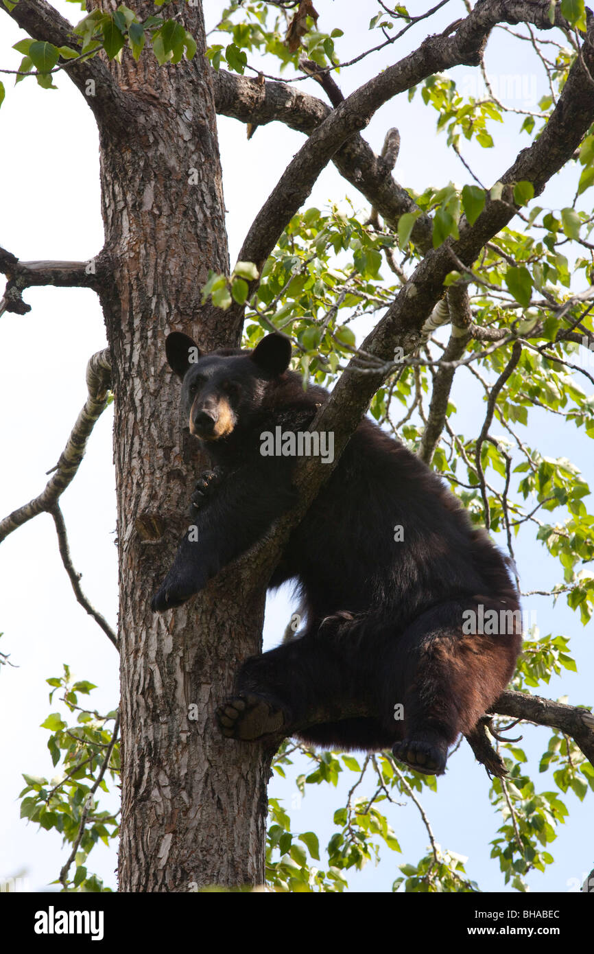 CAPTIVE Black bear in a cottonwood tree at the Alaska Wildlife Conservation Center, near Portage, Southcentral Alaska - Stock Image