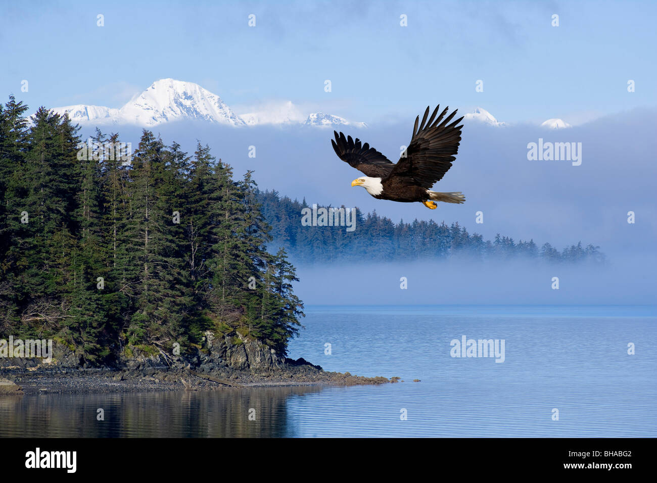 Bald Eagle In Flight Over The Inside Passage With Tongass National