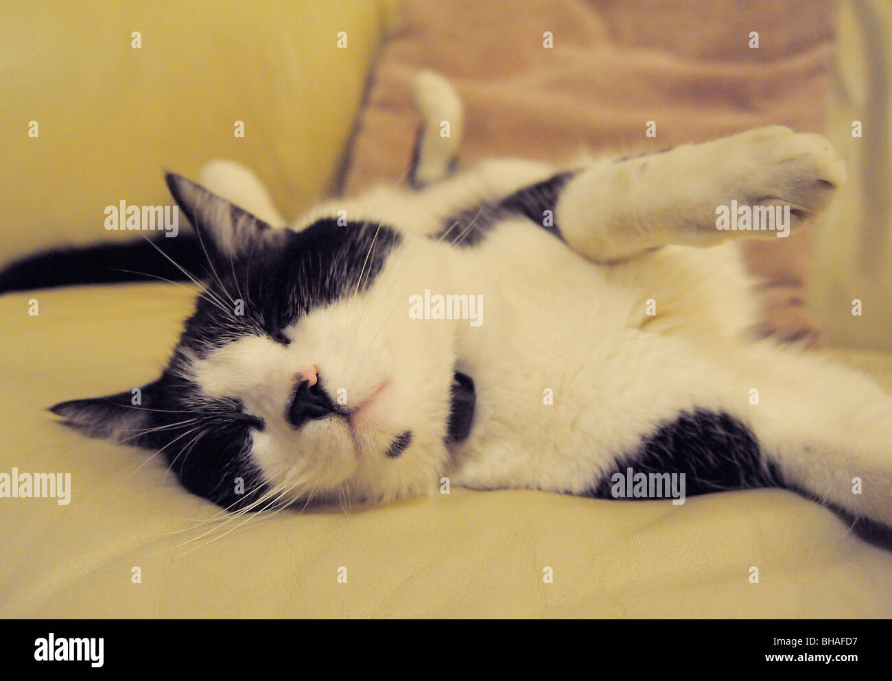 Funny animals Felix the black and white cat sleeping - Stock Image