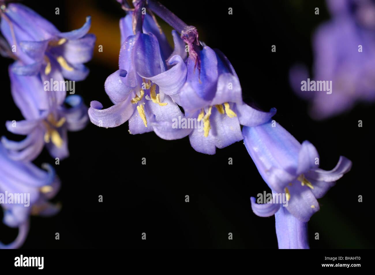 A beautiful spring flower, Blue Bells Stock Photo