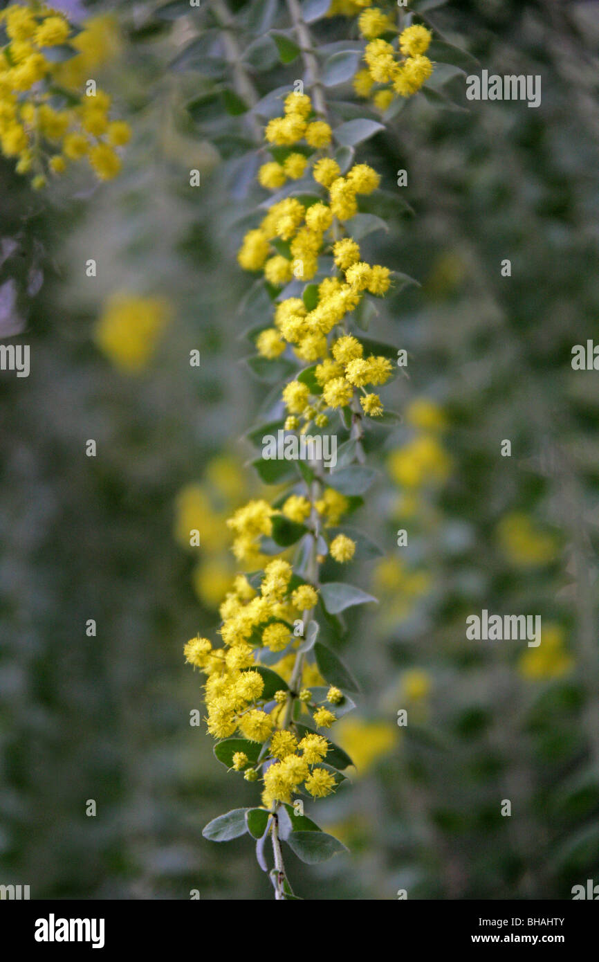 Hairy Wattle or Weeping Boree, Acacia vestita, Fabaceae, New South Wales, Australia - Stock Image