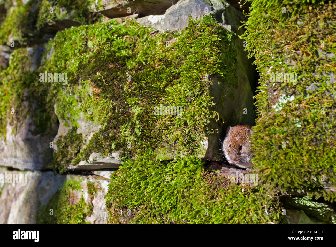 Bank Vole peeping out of stone wall - Stock Image