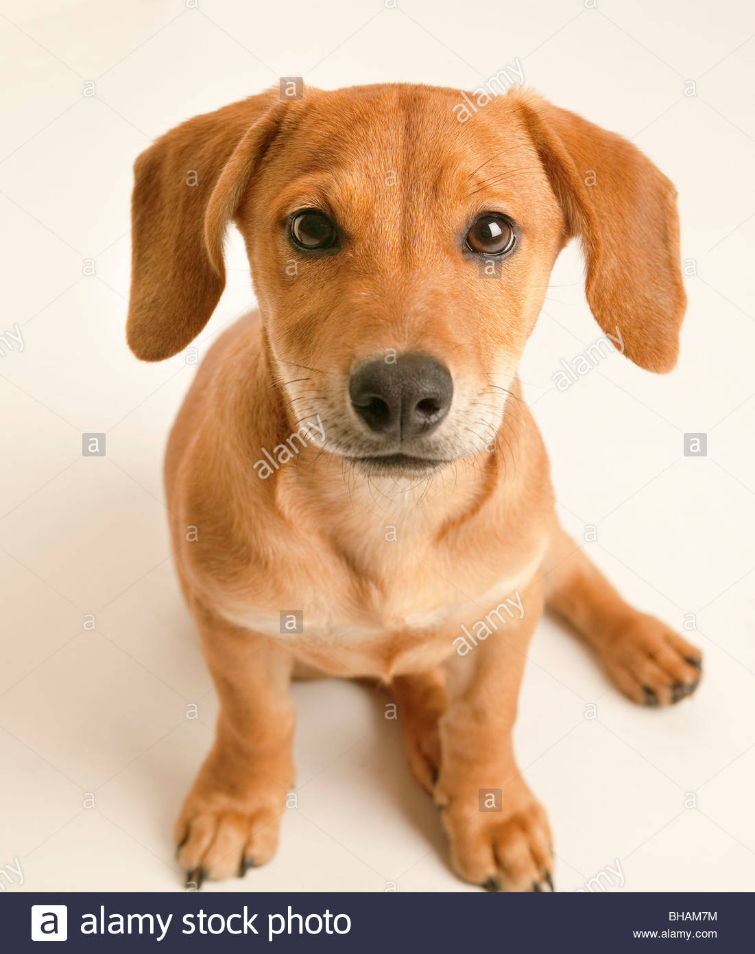 Adorable Puppy staring in camera on white background - Stock Image