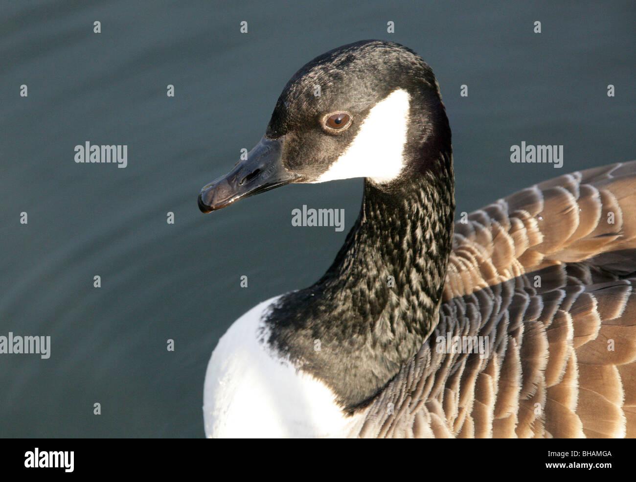 Canada Goose, Branta canadensis, Anatidae - Stock Image
