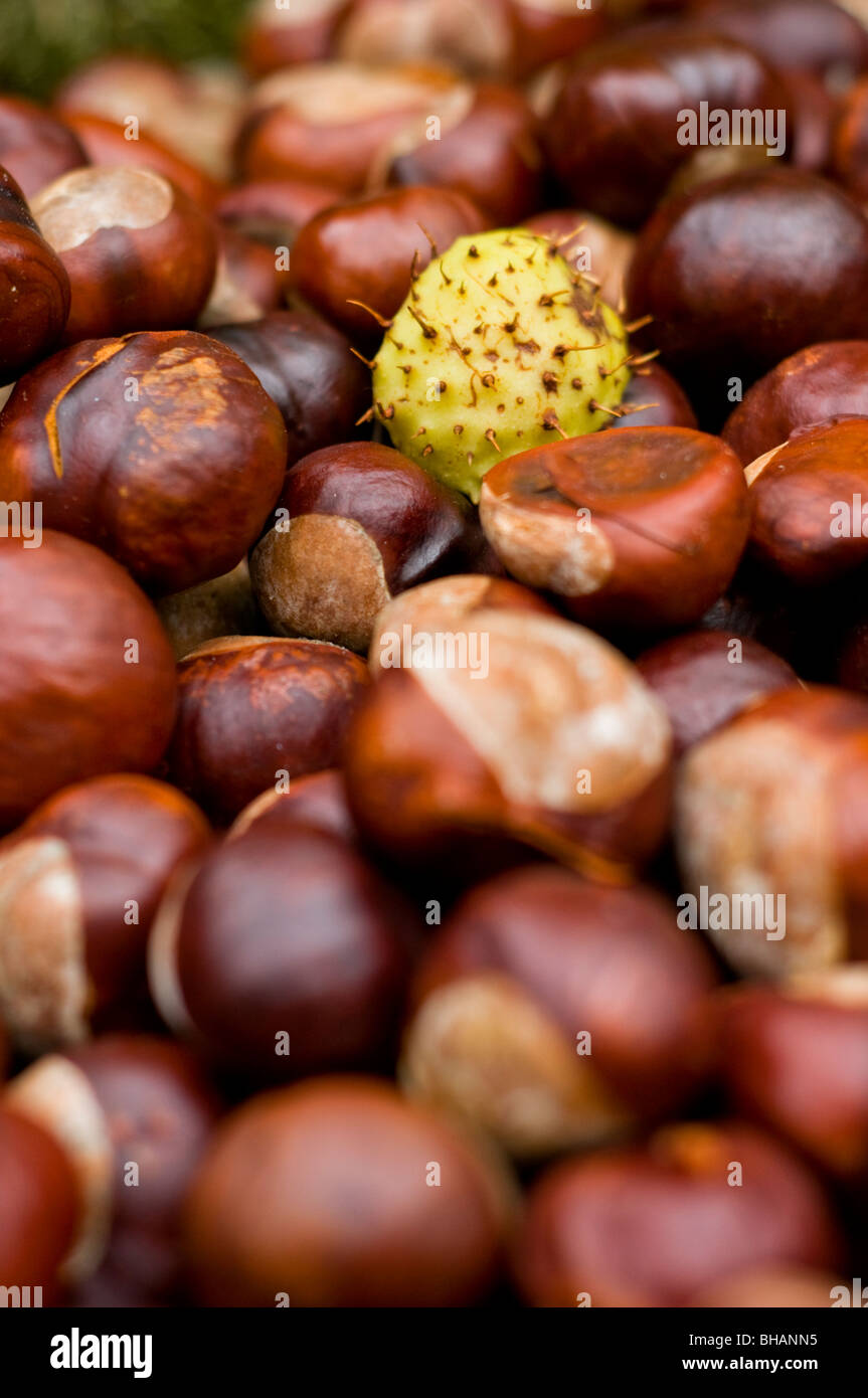Close-up of a pile of conkers - Stock Image
