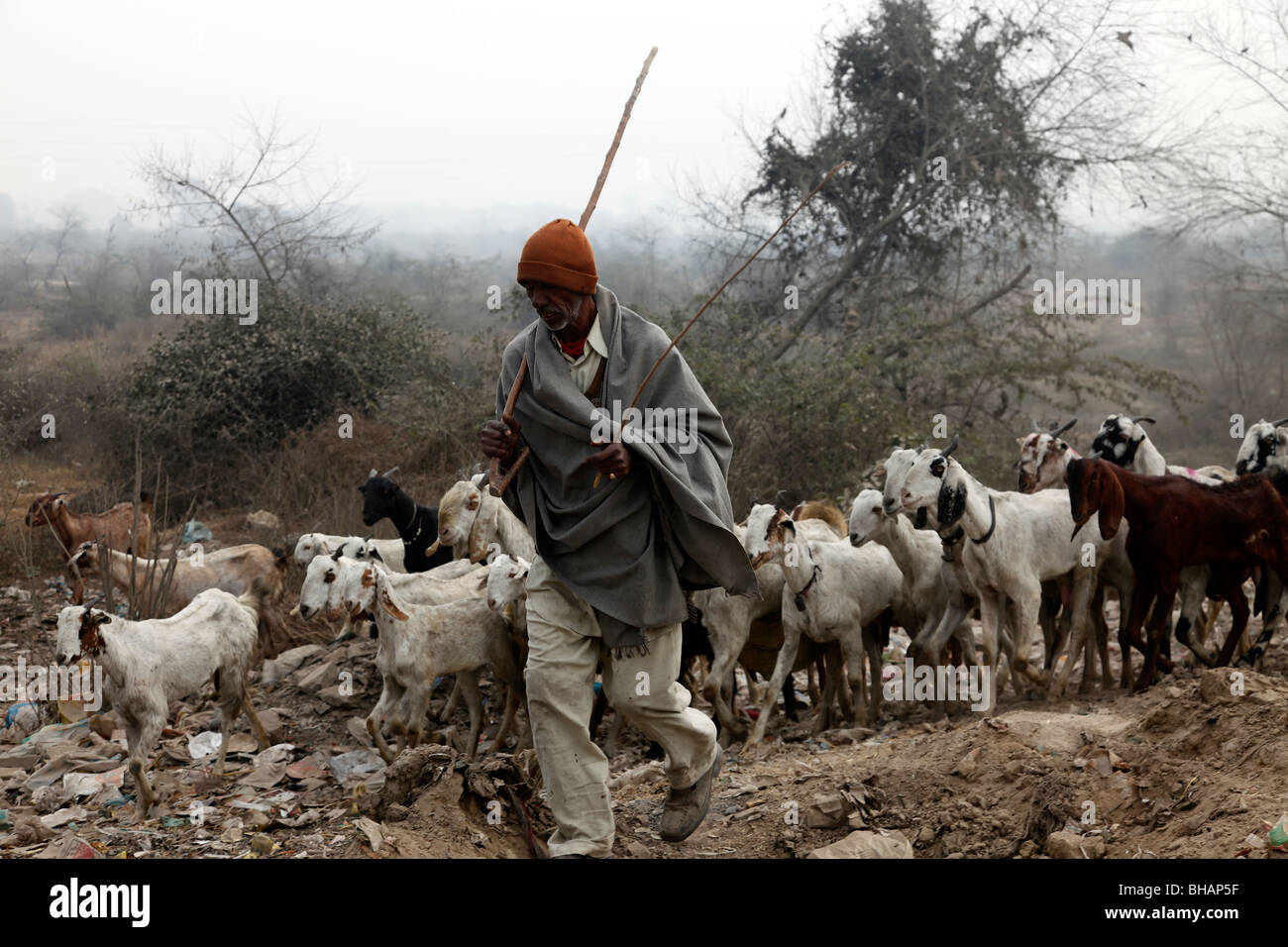 H F Cattle India traditional Ind...
