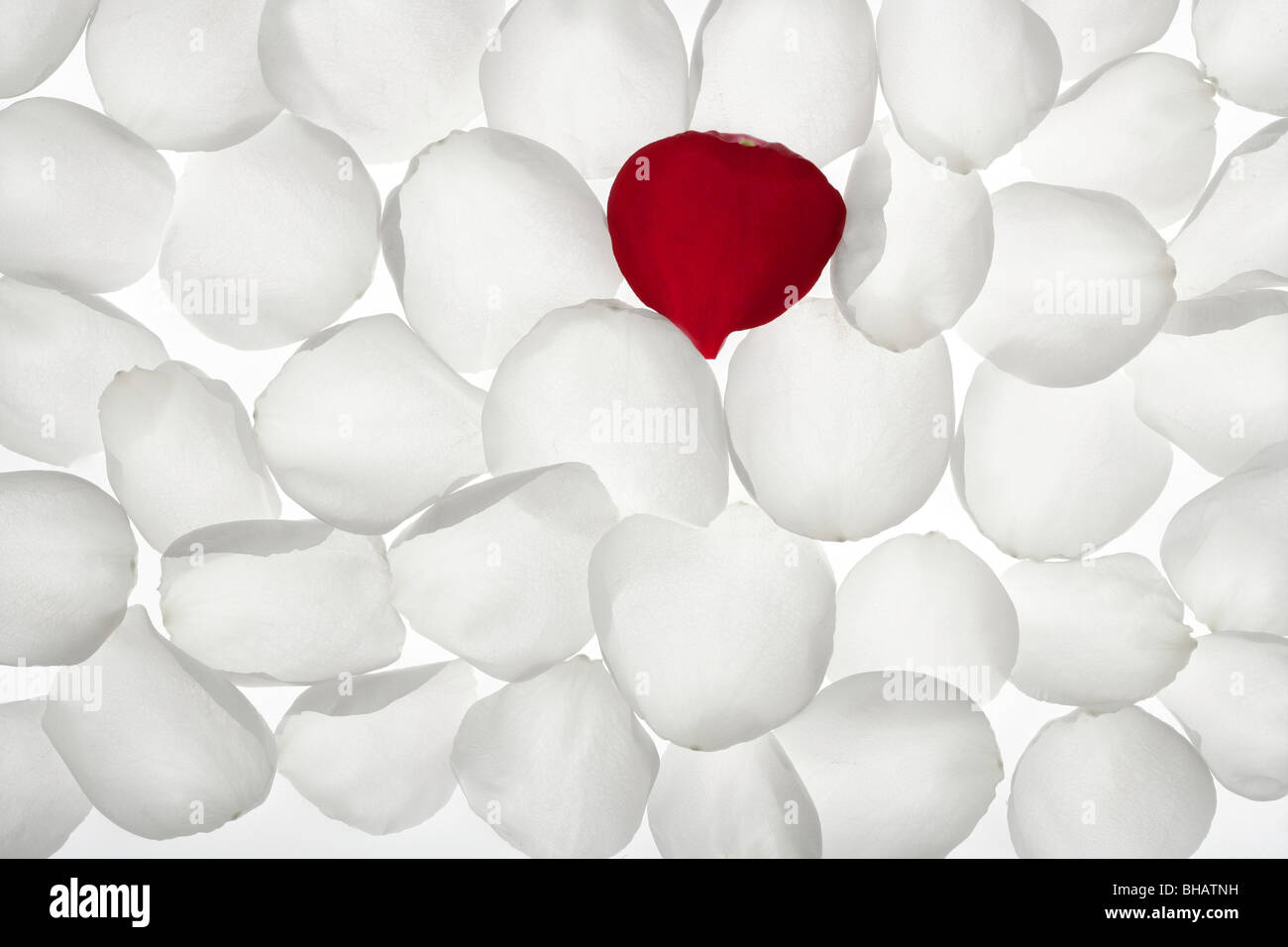 Unique Alone Red Rose Petal Between White Pattern Tranparent Wallpaper