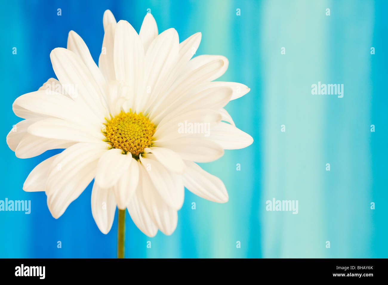 white and yellow daisy on a handpained watercolor background Stock Photo