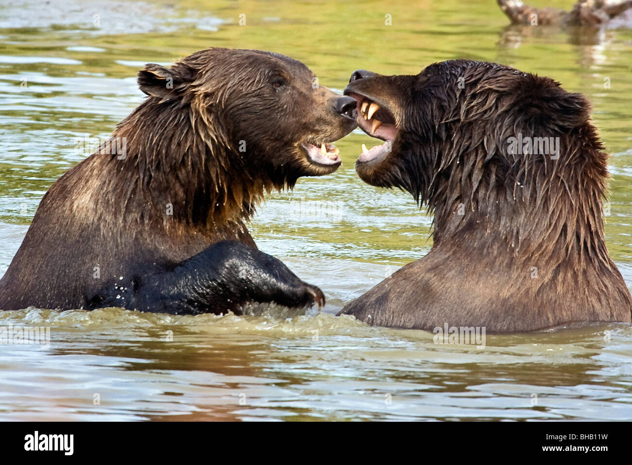 Bears playing at the Alaska Wildlife Conservation Center, Southcentral Alaska - Stock Image